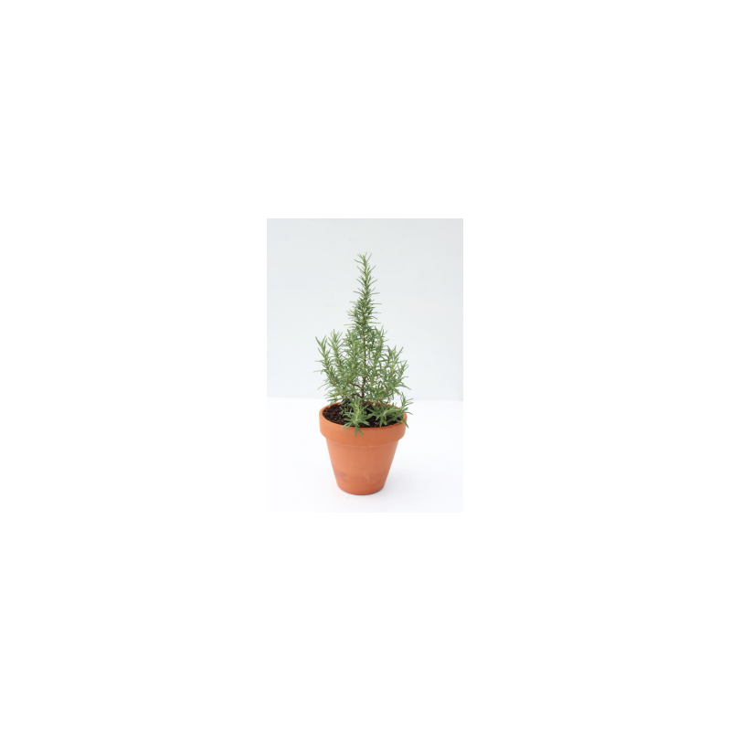 Rosemary Plant in Clay Pot
