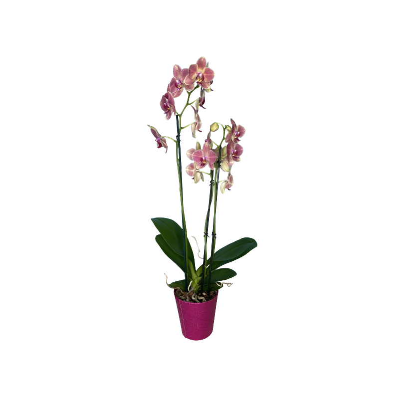 Double Stem Phalaenopsis Plant in...