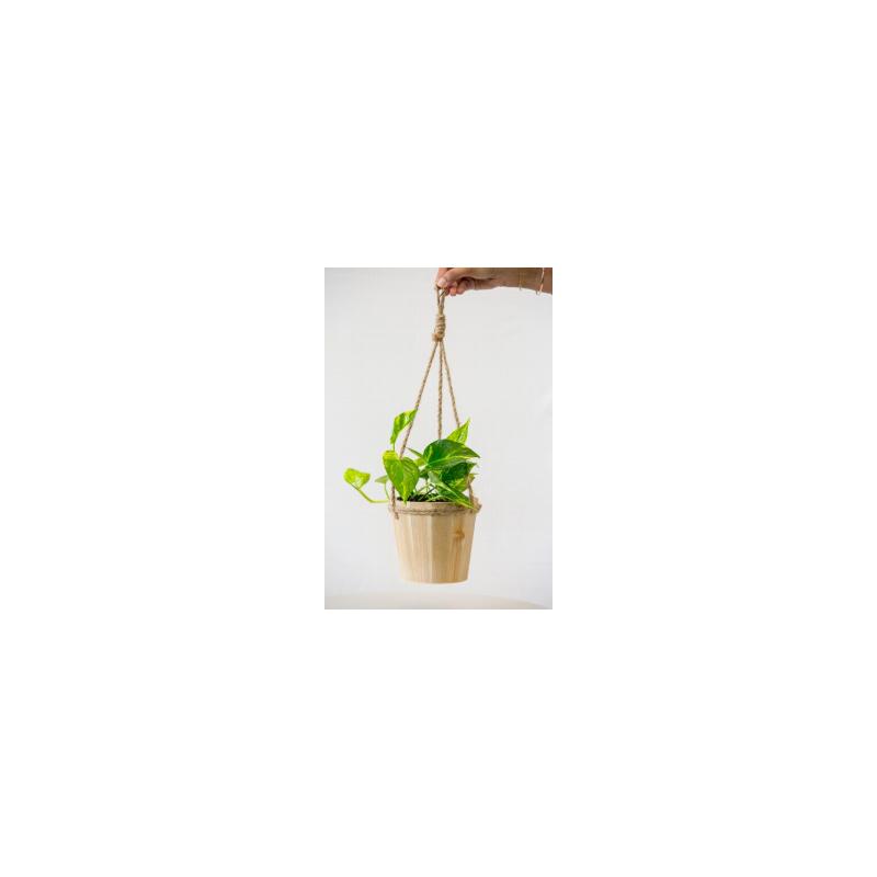 "Pothos in 5"" Hanging Pot Plant"