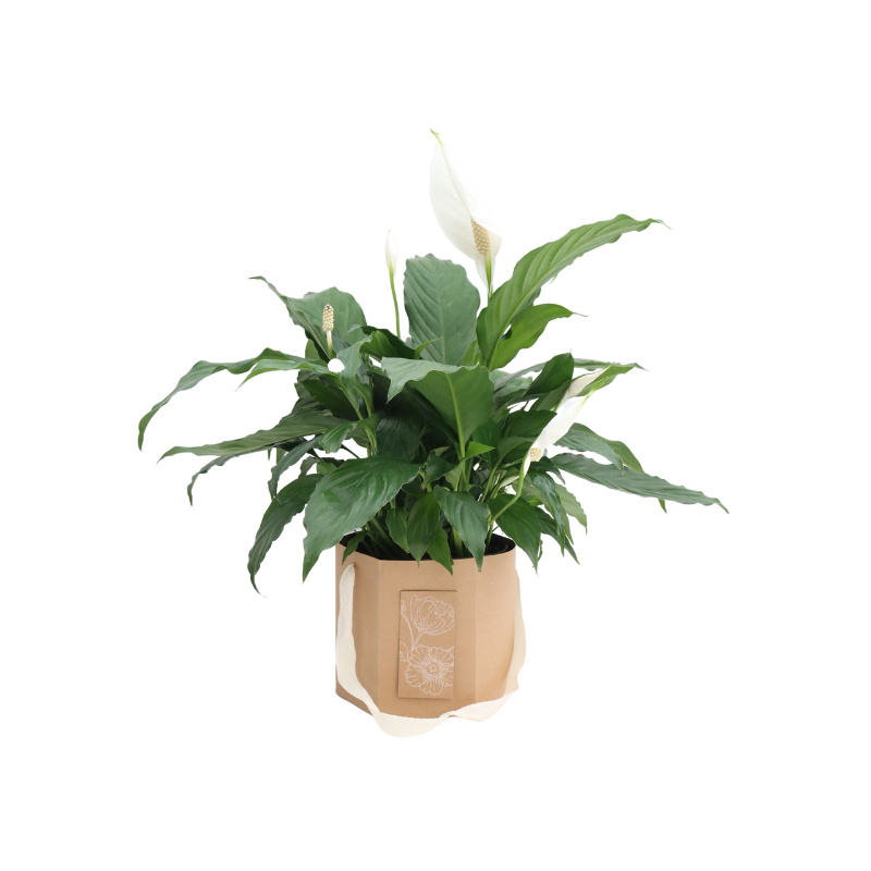 Peace Lilly in Floral Bag Plant
